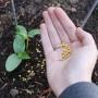 Особенности подкормки огурцов в открытом грунте. Обзор удобрений и их применения