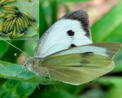 Какие существуют средства от гусениц на капусте? Эффективные способы борьбы