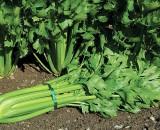 И вершки, и корешки! Выращиваем полезный черешковый сельдерей