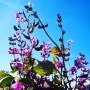 Гиацинтовые бобы: описание и информация о сортах, размножение и уход