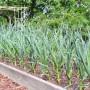 Правильная и своевременная подкормка чеснока — залог богатого урожая