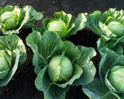 Почему не завязывается капуста? Разбираемся в проблемах вегетации