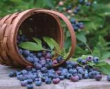 Голубика садовая. Все о правильной посадке и уходе за сочной ягодой