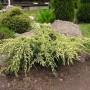 Можжевельник чешуйчатый: украшение для любого сада и ландшафта