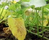 Огурцы в теплице: почему желтеют листья, как справиться с проблемой