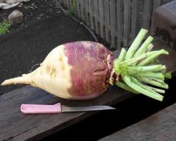 Незаслуженно забытая брюква — выращивание, уход, полезные свойства