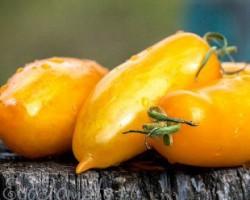 Томаты «Банановые ноги» — американский сорт с превосходными вкусовыми качествами