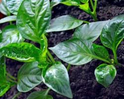 У перца скручиваются листья? Разберемся в причинах, методах борьбы и рекомендациях