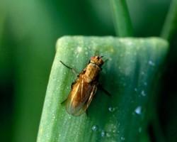 Луковая муха: методы борьбы и профилактики