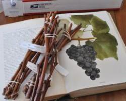 Секреты выращивания винограда из черенков. От заготовки, до высадки саженцев