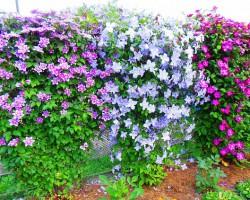 Роскошный элемент вашего сада. Клематисы — все секреты успешного выращивания