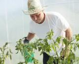 Подкормка помидоров борной кислотой: как повысить урожайность за «копейки»