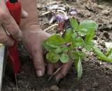 Выращивание базилика рассадой от посадки семян до получения урожая — советы огородников