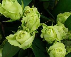 Сортовое разнообразие зеленых роз: виды, размножение и уход
