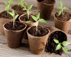 Все тонкости выращивания рассады перцев. Инструкции и советы