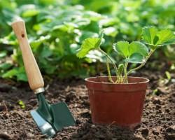 Как вырастить клубнику из семян? Все о правильной посадке и уходе