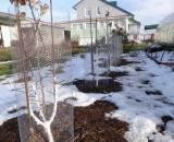 Защита деревьев от грызунов зимой. Обзор методов и средств
