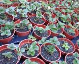 Как правильно вырастить рассаду клубники. Инструкция от специалистов