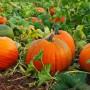 Выращиваем тыкву в открытом грунте — от семечки до кареты для Золушки!