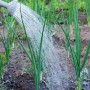 Нашатырный спирт для чеснока и лука: овощам — подкормка, хозяевам — наука