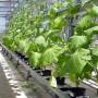 Особенности выращивания томатов и огурцов на гидропонике