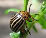 Народные средства борьбы с колорадским жуком
