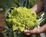 Все тонкости выращивания капусты романеско