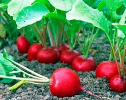 Летний овощ к зимнему столу. Посадка и выращивание редиса в теплице