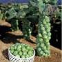 Особенности выращивания брюссельской капусты в открытом грунте