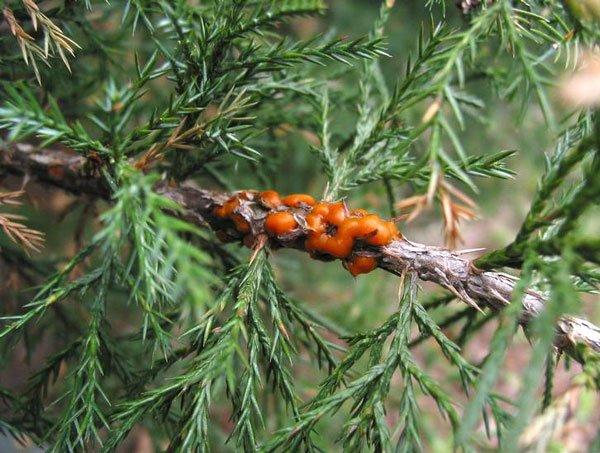 Ржавчина на можжевельнике 7 фото как с ней бороться Способы лечения болезни летом и весной Как она выглядит