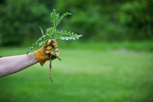 Средство для уничтожения растений