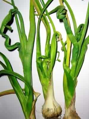 Лук репка посадка и уход в открытом грунте болезни лука
