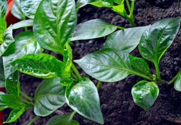 У перца скручиваются листья что делать