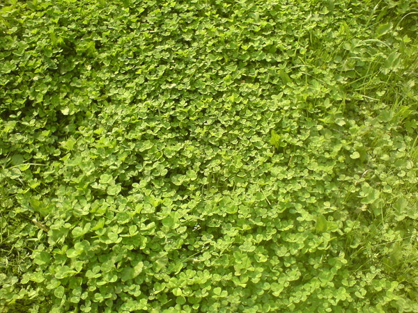 Когда лучше сажать клевер весной или осенью 15