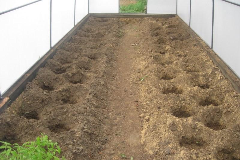 Как вырастить рассаду помидоров для теплиц 530