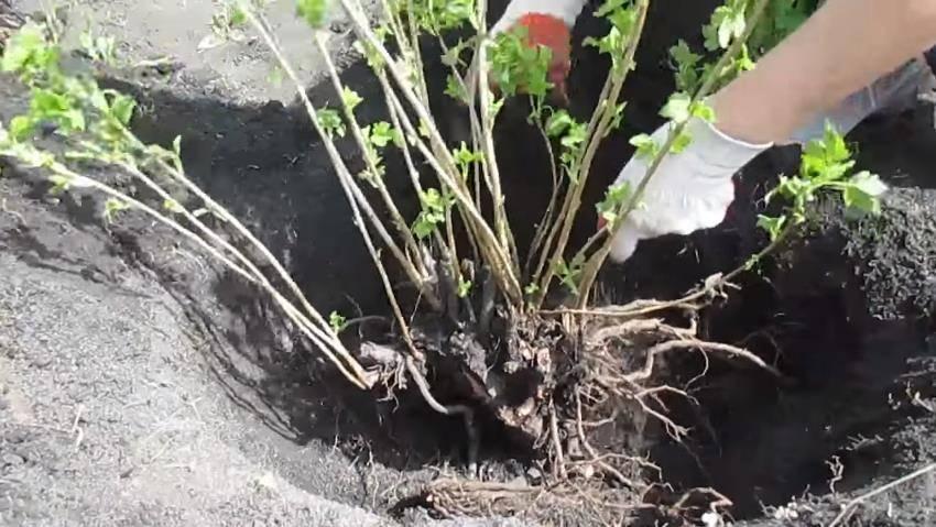 Черная смородина посадка и уход в открытом грунте для новичков