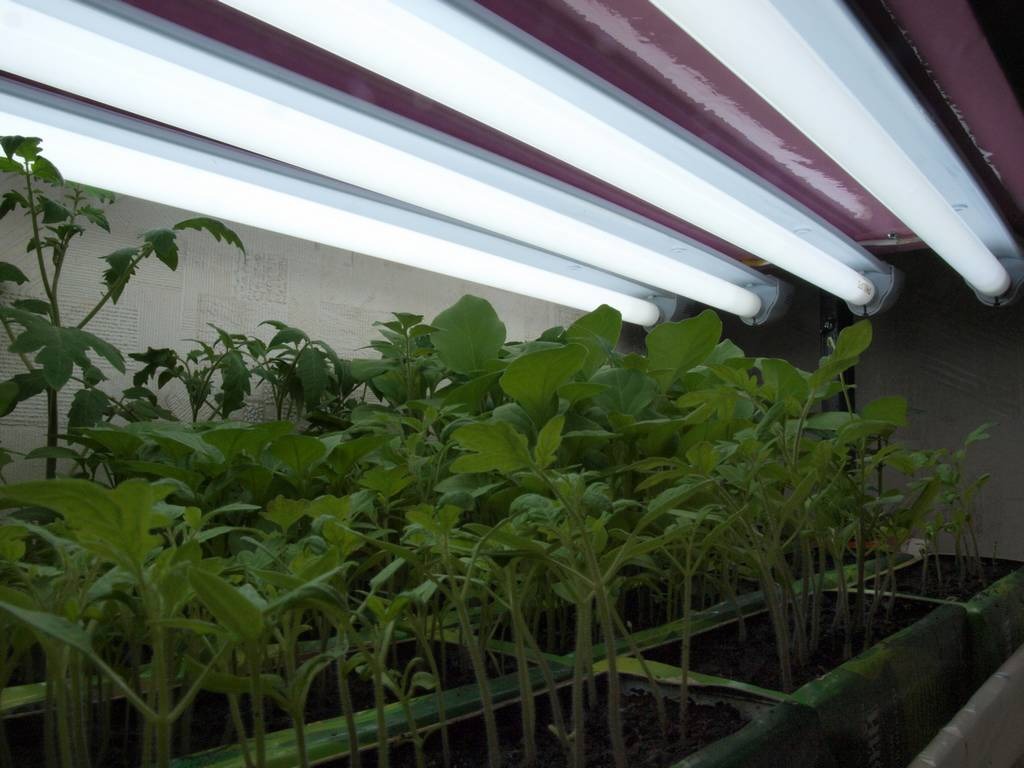 Как подсвечивать рассаду помидоров