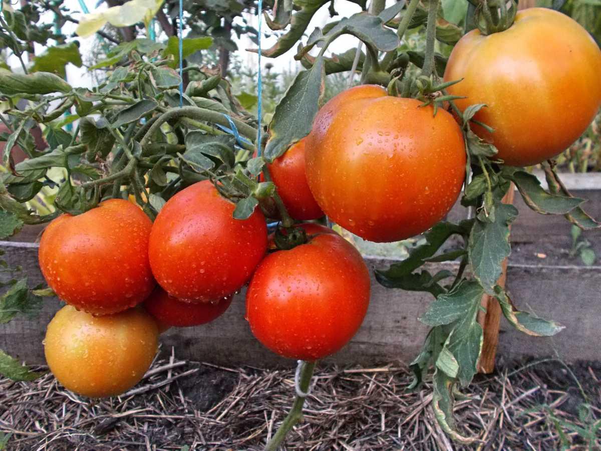Самый низкорослый сорт томатов для открытого грунта