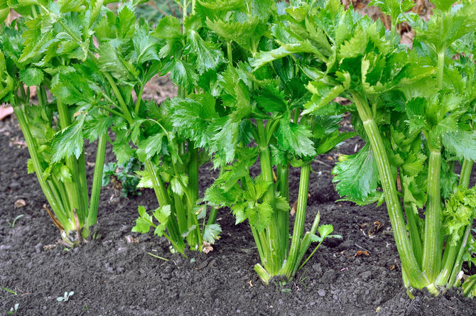 Сельдерей черешковый в сибири выращивание и уход 63