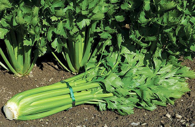 Сельдерей черешковый в сибири выращивание и уход 6