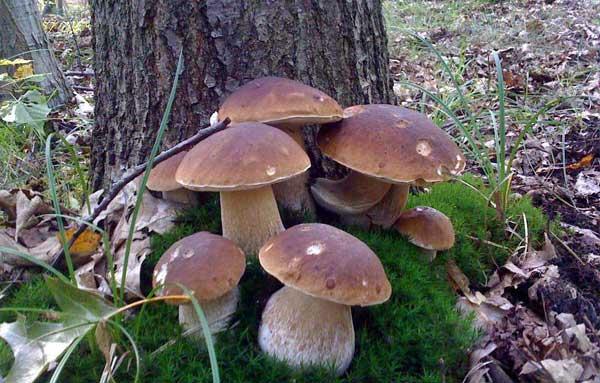 Можно ли выращивать белые грибы в домашних условиях?