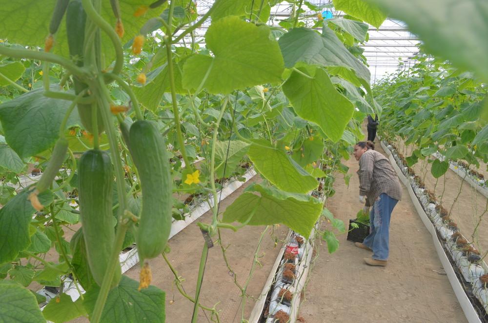 Выращивание огурцов в испании 8