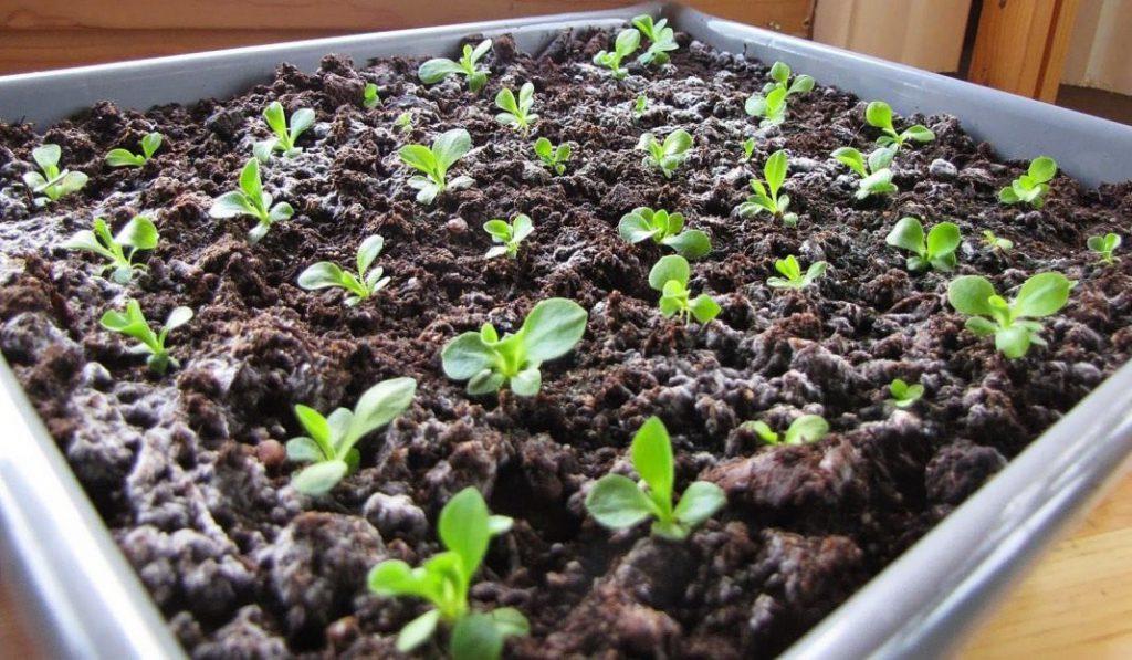 Садить примулу семенами