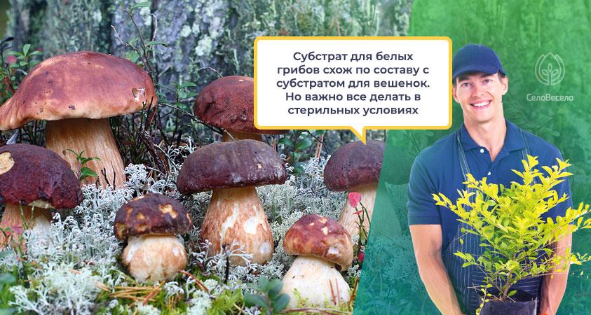 Субстрат для выращивания белых грибов