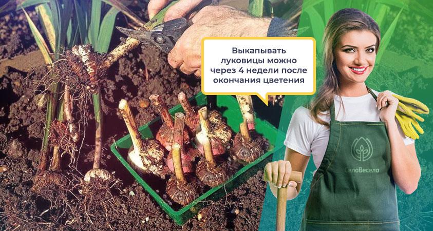Выкапывание луковиц гладиолусов