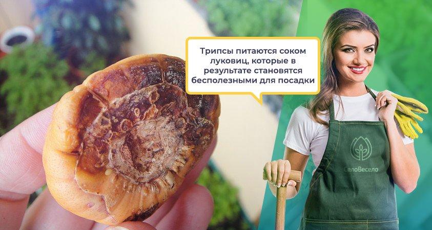 Луковица гладиолуса пораженная трипсом