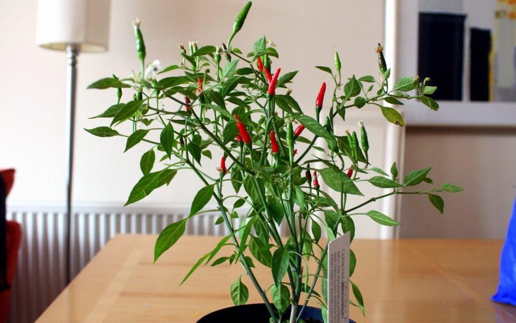 Какие сорта горького перца выращивают на подоконнике?