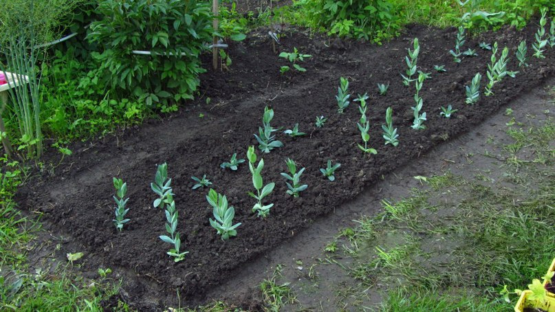 Выращивание эустомы из семян в домашних условиях- пошаговая инструкция с фото и видео отзывы