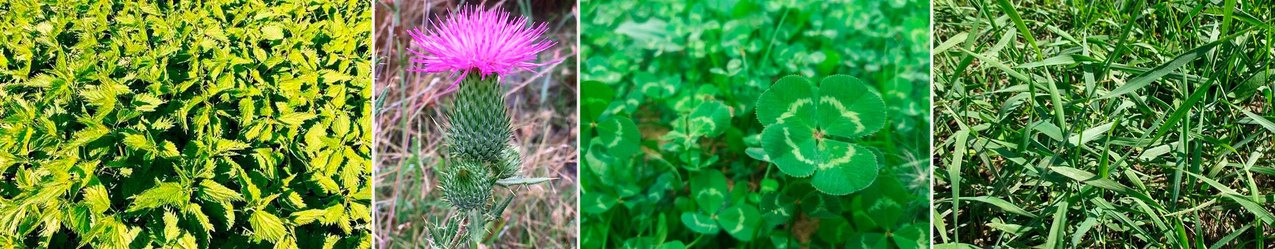 новые фото сорняков растущих на кислых почвах провела