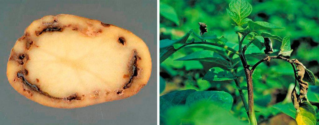 ᐉ Болезни клубней картофеля: описание, фото и лечение
